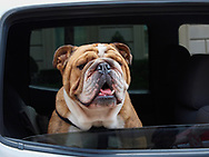 Bulldog in a limousine on Fifth Avenue.
