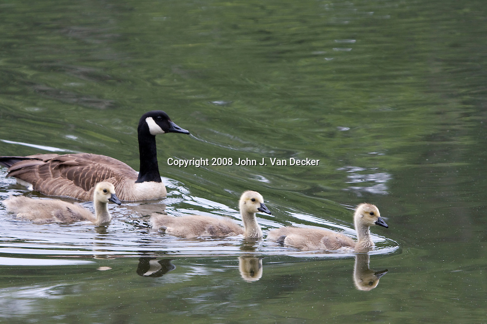 Canada Goose mother swimming with goslings  fledgling, fledglings