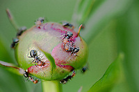 macro of ants opening a peony flower bud