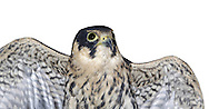 Hobby Falco subbuteo W 70-85cm. Elegant falcon. Aerial mastery allows it to catch agile prey including Swifts, hirundines, and even dragonflies. In silhouette, has proportionately longer and narrower wings than Peregrine, and longer tail. Generally unobtrusive. Sexes are similar. Adult has blue-grey upperparts and pale, dark-streaked underparts. Has dark 'moustache', white cheeks and reddish orange 'trousers'. Juvenile is similar to adult but lacks reddish 'trousers' and underparts look buffish overall. Voice Utters a shrill kiu-kiu-kiu…in alarm. Status Scarce summer visitor; breeds mainly in S and SE England. Favours heathland and farmland with scattered woods. are favoured; on migration, a Hobby could turn up almost anywhere. Between 500 and 1,000 pairs are probably present in the region in the summer months.