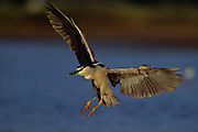 Black-crowned Night Heron landing on small pond - Maui, Hawaii.