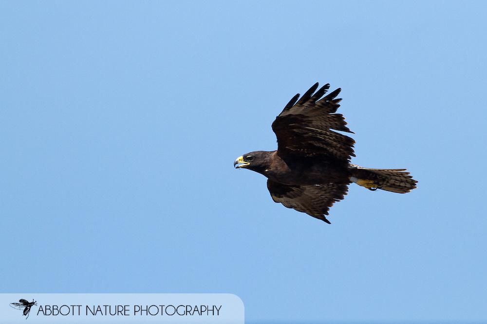 Gal&aacute;pagos Hawk (Buteo galapagoensis) flying<br /> ECUADOR: Galapagos Islands<br /> Hood (Espanola) Island; Punta Suarez<br /> 20-Aug-2010<br /> J.C. Abbott &amp; K.K. Abbott