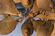 Helmeted guinea fowl at waterhole, Botswana