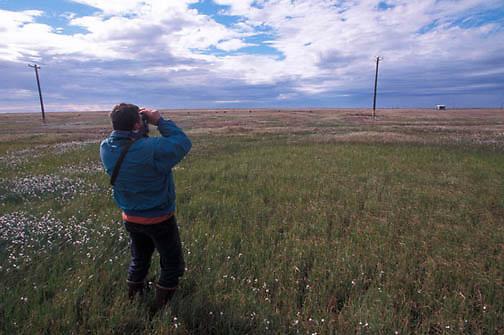 Snowy Owl, (Nyctea scandiaca) Denver Holt checks out adult on electrical pole.Barrow, Alaska.
