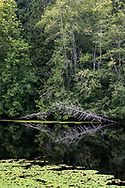 Two dead snags and various other trees are reflected on the water in the evening at McLean Pond at Campbell Valley Regional Park in Langley, British Columbia, Canada. The pond plant in the foreground is known as Watershield (Brasenia schreberi).