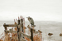 Great Blue Heron sits on a fence post next to a frozen farm pond.