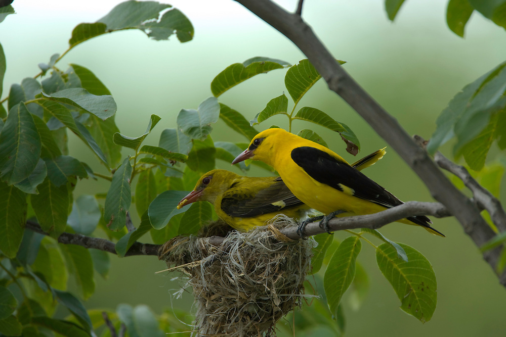 Golden oriole male and female (Oriolus oriolus) at their nest, Pirol Maennchen und Weibchen am Nest, near Nikopol, Bulgaria