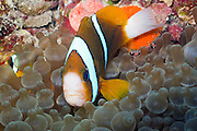 Bulb Tentacle Sea Anemone (entacmaea quadricolor) and Barrier Reef Anemonefish (Amphiprion akindynos) - Agincourt Reef, Great Barrier Reef, Queensland, Australia.
