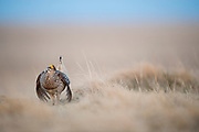 Sharp-tailed Grouse, Tympanuchus phasianellus, male, South Dakota