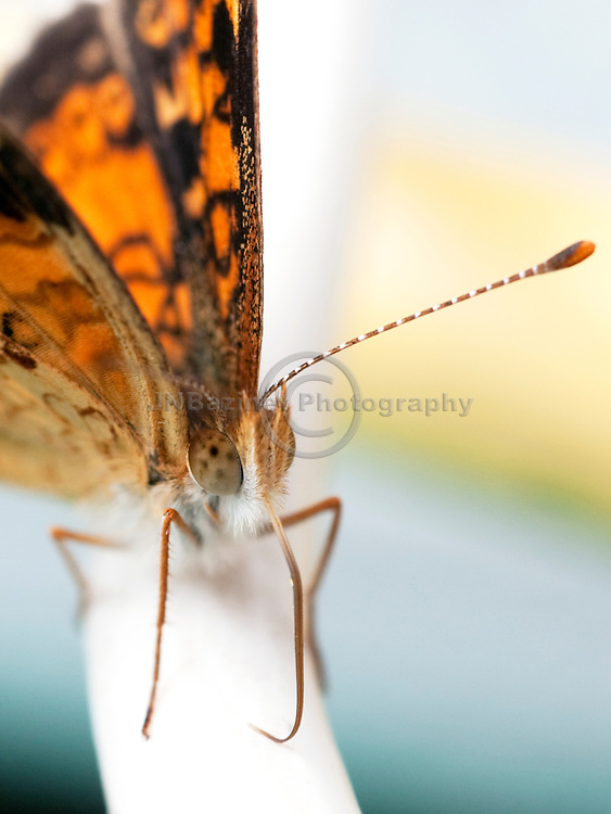 The pearl crescent is one the most common of 700 species of butterflies in the United States and Canada. (Quebec, Canada)