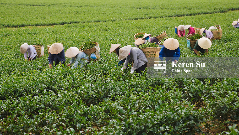 Farmers wearing conical hat picking tea leaves at tea plantation.