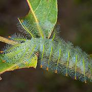 Caterpillar of the Archduke (Lexias pardalis).