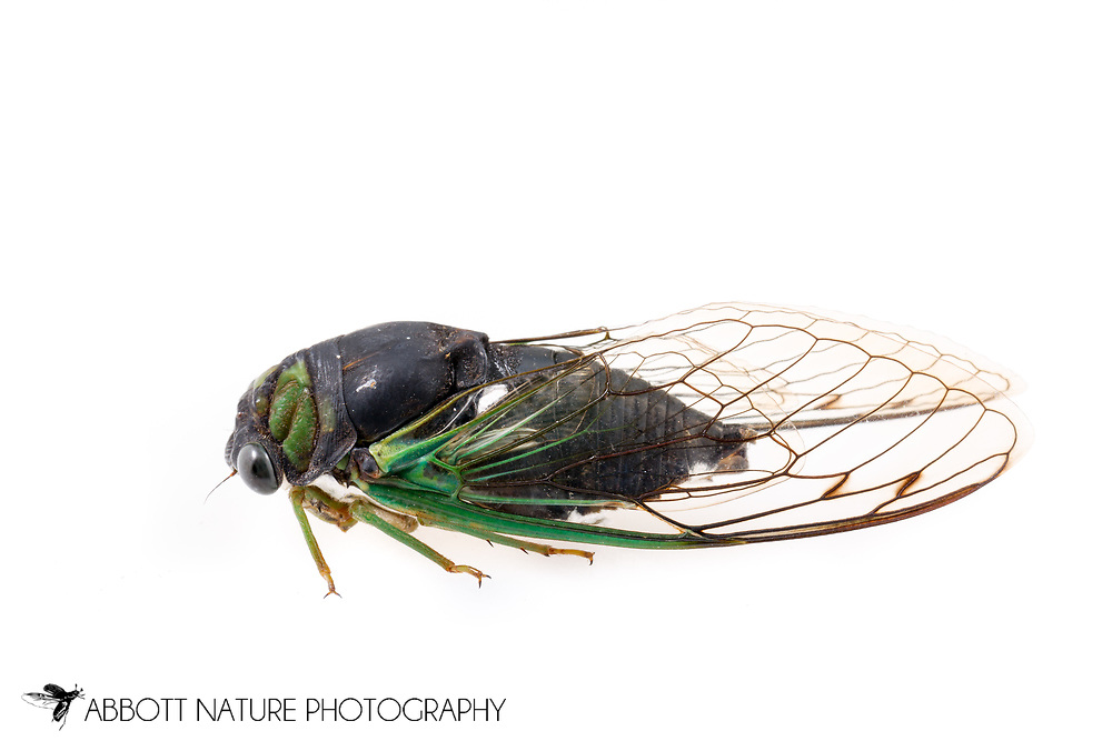 Swamp Cicada (Neotibicen tibicen tibicen)<br /> United States: Alabama: Tuscaloosa Co.<br />