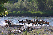 A herd of Elk with several calves, contemplates crossing the swift waters of the Salmon River west of North Fork, Idaho, USA PLEASE CONTACT US FOR DIGITAL DOWNLOAD AND PRICING.