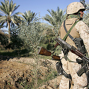 28 November 2004...Yusufiya, Iraq...Operation 'Plymouth Rock' /Amphibious landing.....US Marines and Iraqi National Guard executed the largest ever amphibious landing to take place in Iraq today 28 November in the area of Yusufiya as part of operation 'Plymouth Rock' aimed at targeting insurgent and criminal groups. After a dawn insertion in gunboats the combined forces made a sweep through palm groves, orchards and farmland searching for hidden weapons. The Marines used metal dectors and shovels to unearth buried assault rifles and ammunition. The discovered weapons are taken back to the base and when possible reconditioned and reused by the Iraqi National Guard. In addition to his M16 this Marine is carrying an old bolt action rifle and an AK assault rifle that were found in the palm groves.