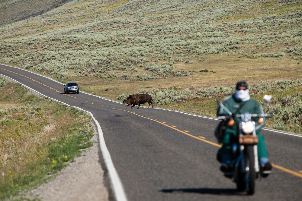 Bison crossing the road in Lamar Valley, Yellowstone National Park, Wyoming, United States