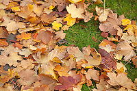Fallen autumn leaves on suburban foot path and grass  in Dublin Ireland