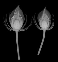 X-ray image of midnight marvel hibiscus flower buds (Hibiscus 'Midnight Marvel', white on black) by Jim Wehtje, specialist in x-ray art and design images.