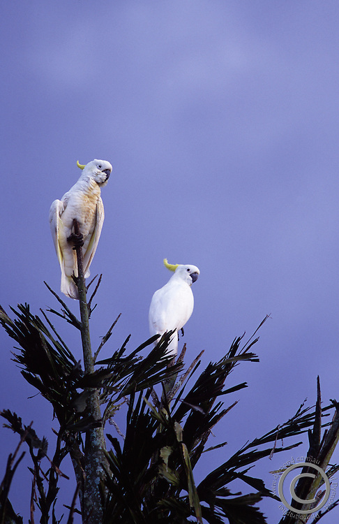 A Pair of Sulphur Crested Cockatoos atop a tall tree.