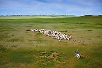 Mongolie, Province de Tov, campement nomade, troupeau de mouton // Mongolia, Arkhangai province, nomad camp, sheep herd
