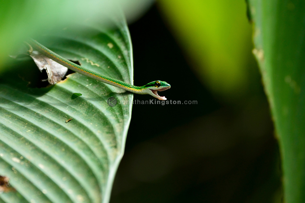 A parrot snake camouflaged on a leaf in Manuel Antonio National Park, Costa Rica.
