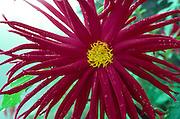 Dahlia flower<br />