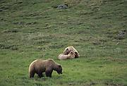 Sow Grizzly, Grizzly Cub, Bear Cub, Cub, Grizzly Bear, Denali National Park, Alaska