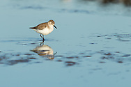 A western sandpiper wades through shallow water, Puerto Vallarta, Mexico