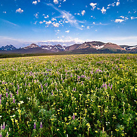 wildlife flowers spring to life on the prairie background glacier national park