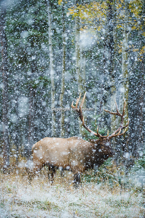 bull elk in snow storm during fall