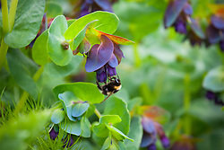 Cerinthe major 'Purpurascens' (honeywort) with bee