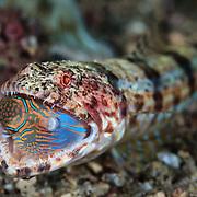 Reef lizardfish (Synodus variegatus) eating a Bennett's sharpnose puffer (Canthigaster bennetti). Lembeh Strait, Indonesia