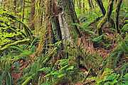 Lush evergreen forest<br /> Golden Ears Provincial Park<br /> British Columbia<br /> Canada