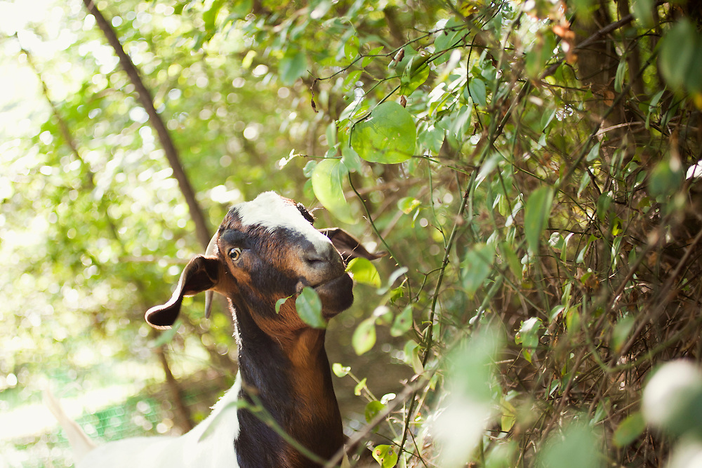 "A goat, of the Boer variety, eats leafy vegetation near a lot-side easement in Chapel Hill, N.C., Thurs., July 22, 2010. Goat owner Jeff Mullins said, ""They prefer leafy vegetation to grasses, so brush clearing is their real specialty.""..D.L. Anderson for The Wall Street Journal..GOATS"