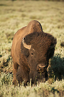 Bison in Grand Teton National Park, WY