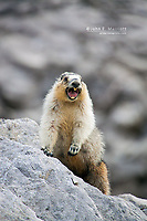 Hoary Marmot in the Canadian Rockies