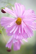 Cosmos bipinnatus 'Psyche Mixed' - garden cosmos