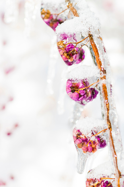 Flowers encased in ice following the Toronto ice storm in December 2013.