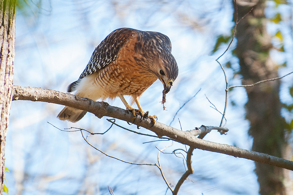 Red-shouldered Hawk<br />