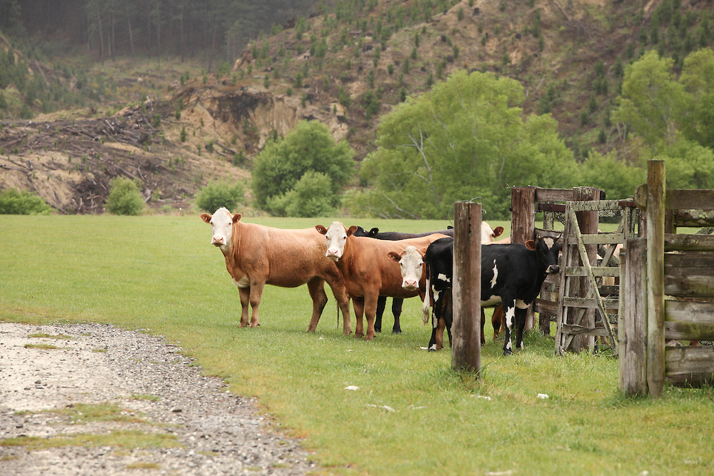 Cattle about to be put into cattle yards, North Canterbury, New Zealand, Tuesday, 27 October, 2015.  Credit: SNPA / Pam Carmichael