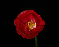 Red Poppy Flower. Backyard spring nature in New Jersey. Focus stacked composite of 33 mages taken with a Nikon Df camera and 105 mm f/2.8 VR macro lens and SB-910 flash (ISO, 105 mm, f/4, 1/60 sec). Images processed with Capture One and Helicon Focus (depth map, radius 8, smoothing 4)