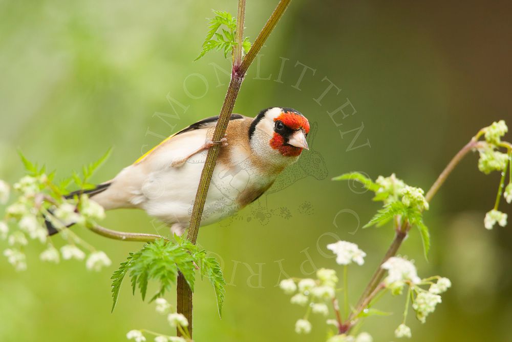 European Goldfinch (Carduelis carduelis) adult, perched on cow parsley, summer, Norfolk, UK.