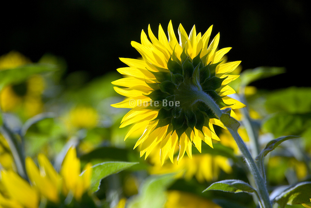 back view of sunflower in a field