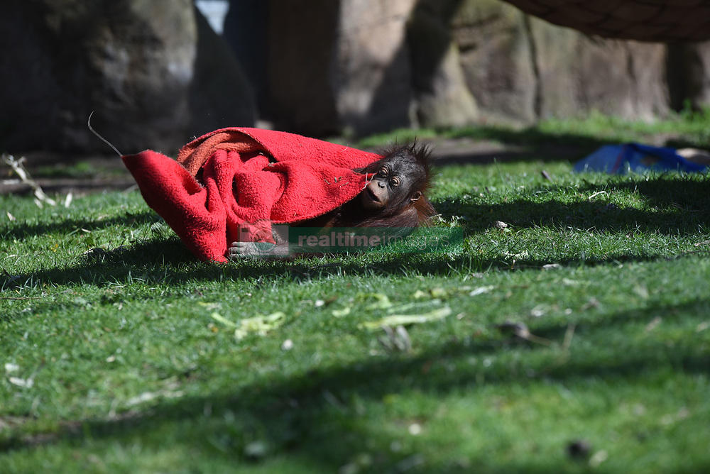 April 17, 2018 - Madrid, Madrid, Spain - The baby Bornean orangutan 'Sabah' pictured playing with a blanket at Madrid zoo, where high temperatures reached up 23º degrees during the afternoon hours. (Credit Image: © Jorge Sanz/Pacific Press via ZUMA Wire)