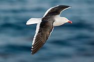 Dolphin Gull - Larus scoresbii in breeding plumage