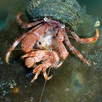 Hermit crab, Pagurus pubescens, waiting to mate, Lofoten, Norway,