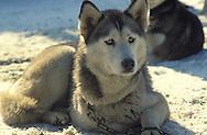 DEU, Germany, Siberian Husky.....DEU, Deutschland, Sibirischer Husky.........