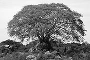 Tree just South of Arugam Bay. East Coast.