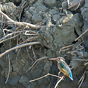 Common Kingfisher Alcedo atthis in Phetchaburi, Thailand