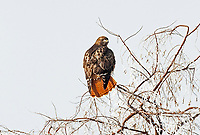 A Red Tailed Hawk perches on the branch of a Russian olive tree close to the edge of the Great Salt Lake in northern Utah.